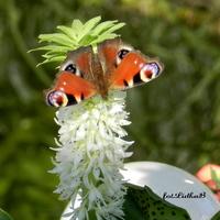 Eukomis i Rusałka pawik