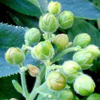 Jakiej roślinki nasienniki ?