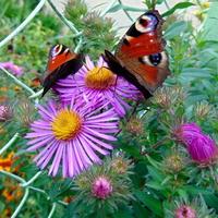 Lila róż jest w guście motyli :)))