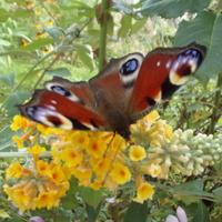 Motylki zauważyły żółtą dopiero gdy