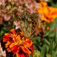 Motylkowy witrażyk :)