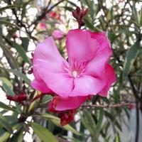 Oleander ,Variegatum,