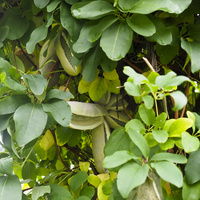 Owoce akebii