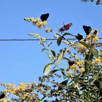 Podniebne motyle