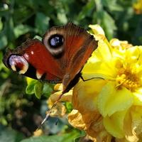 Sporo dziś motylków...