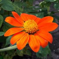 Titonia okrągłolistna pomarańczowa