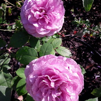 Wrześniowe róże