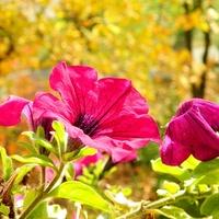 Balkonowe jesienią:)