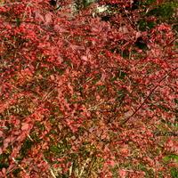 Berberys-kolory jesieni