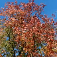 Dąb czerwony-kolory jesieni