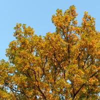 Dąb w kolorach jesieni