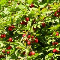 Dereń jadalny, owoce