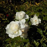 Jesienne róże :)