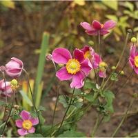 Jeszcze różowo w ogrodzie...