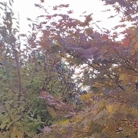 Klon w jesiennym wdzianku:)