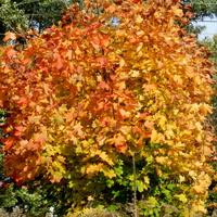 Kolorowe liście klonu