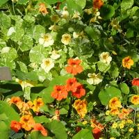 Kwiaty nasturcji