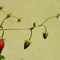 Kwitną i owocują jednocześnie:)