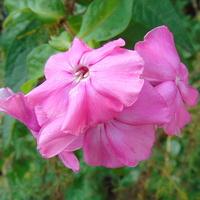 Na różowe sny dzisiejszy floksik :)