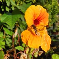 Nasturcja ,ostatni kwiatuszek