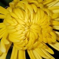 żółta......