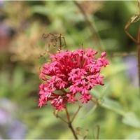 Pojedyncze kwiatki ostrogowca...