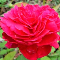Róża Cindarella Ko