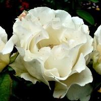 Róża Rococo W Zbli