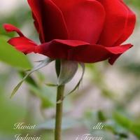 róża z łodygą bez liści