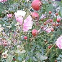 róże w mieście