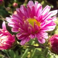 Różowiutka chryzantemka.....