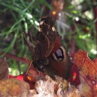 Ukryty pod liściem buraka...