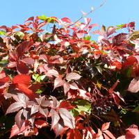 Winobluszcz-kolory jesieni